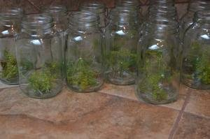 A row of jars on a table with dill in each of them